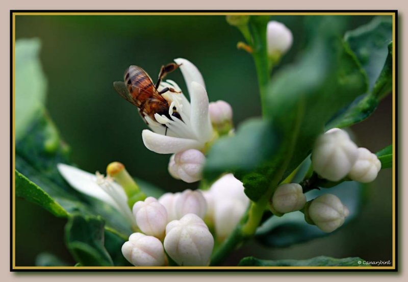 bee on citrus 3