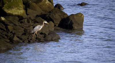 Heron, Astoria, Oregon, 2009