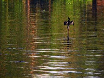 Cormorant, Kerala Backwaters, India, 2008