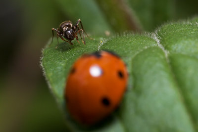 Ladybug, Aphids, and Ants - Part VI