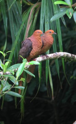 Philippine-Cuckoo-dove-Mind.jpg