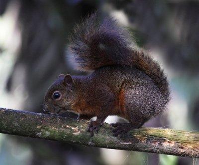 Red-tailed Squirrel (Ecuador)