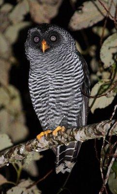 The San Isidro Mystery Owl