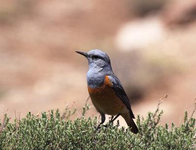 Sentinel Rock-Thrush (male)