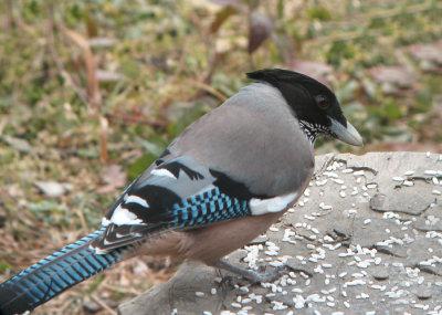 Black-headed-Jay-Pangot-26-Nov-07.jpg