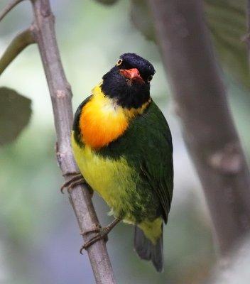 Orange-breasted Fruiteater