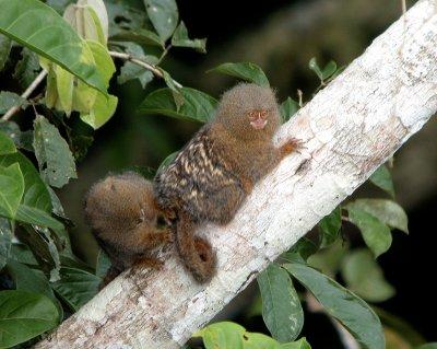 Pygmy Marmosets (Ecuador)