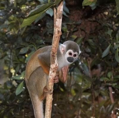 Common Squirrel Monkey (Ecuador)