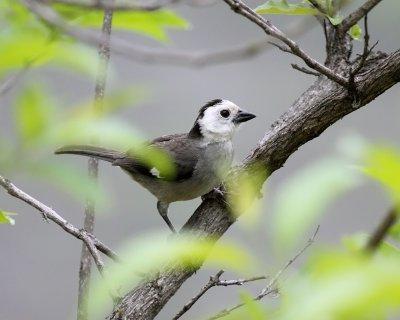 White-headed Brush-Finch
