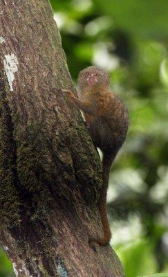 Pygmy Marmoset (Ecuador)