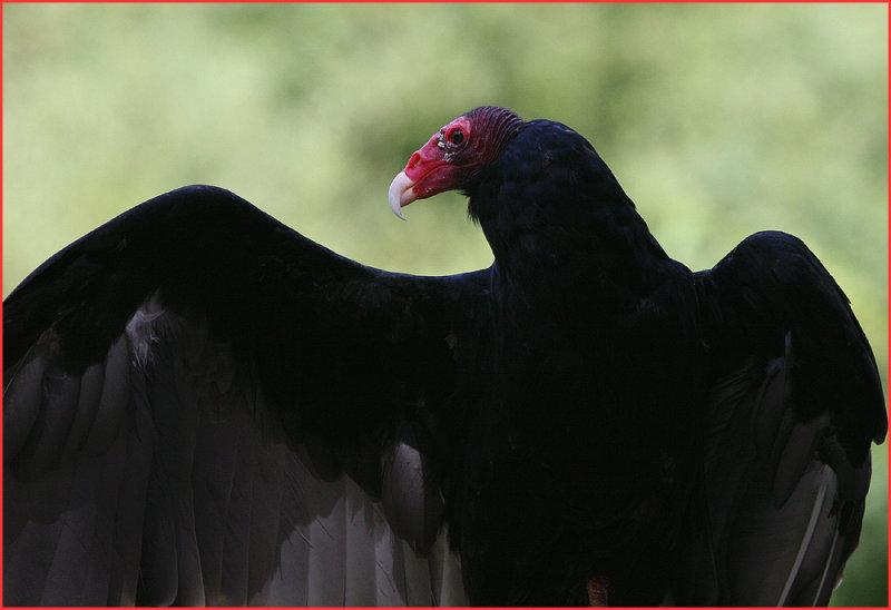 Turkey Vulture - The Grim Reaper