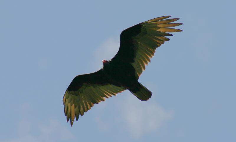 Turkey Vultures - 5