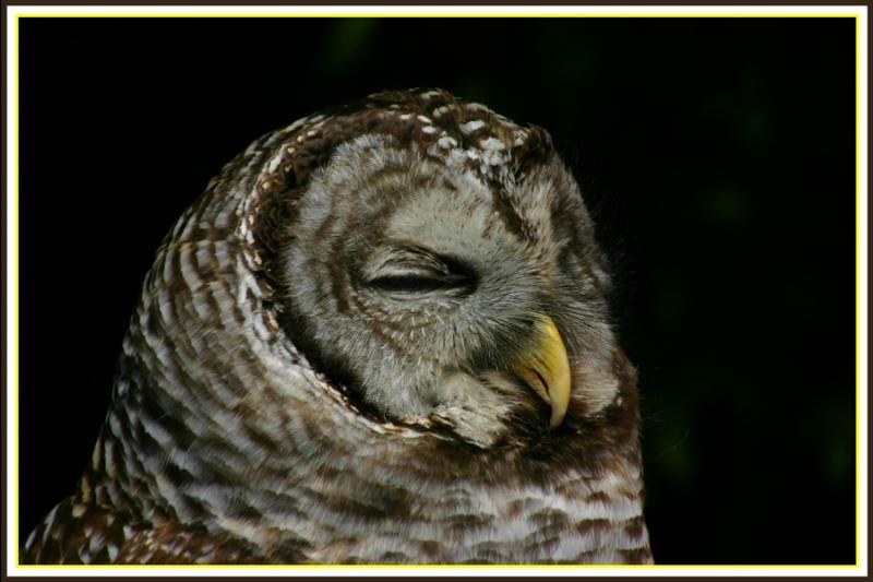 Barred Owl - 2