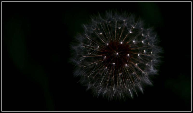 Celestial Dandelion