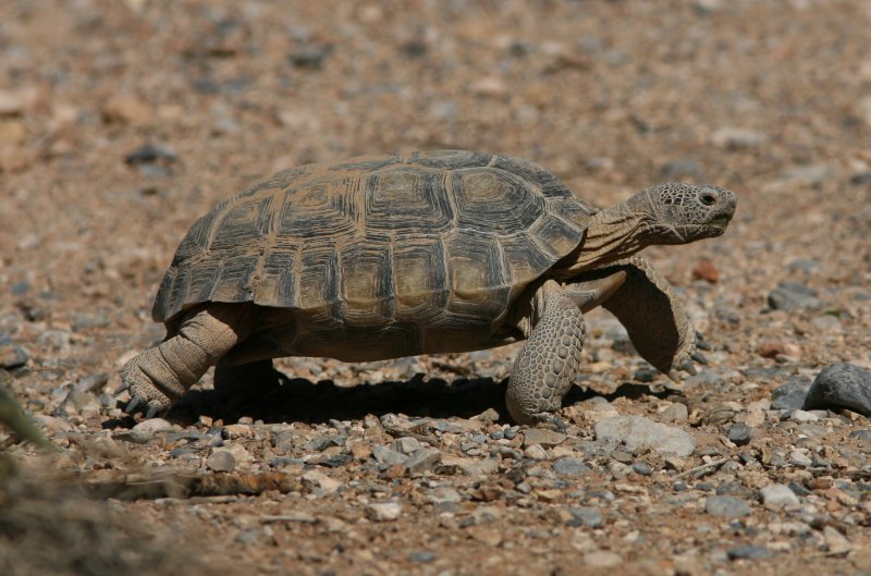 Desert tortoise Gopherus agassizii Red Rock Canyon, Nevada 20070919.jpg