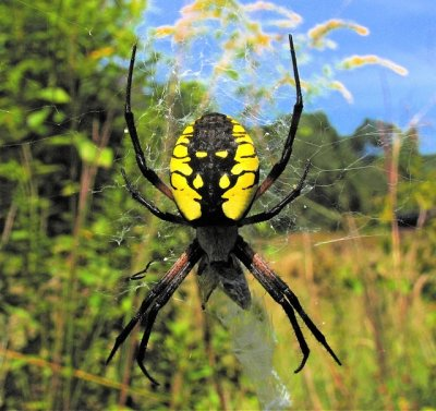 Black and Yellow Argiope A aurantia
