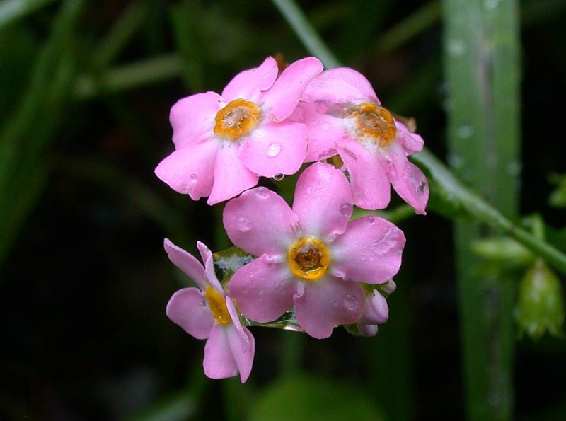 Pink Forget Me Not This Flower Is More Commonly Blue