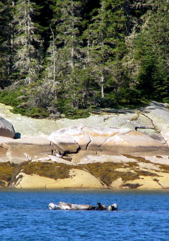 Seals - Seal bay, Vinalhaven