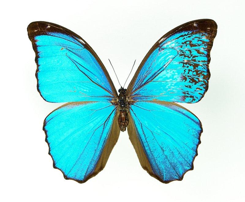 Gynandromorph 3 (Morpho menelaus)