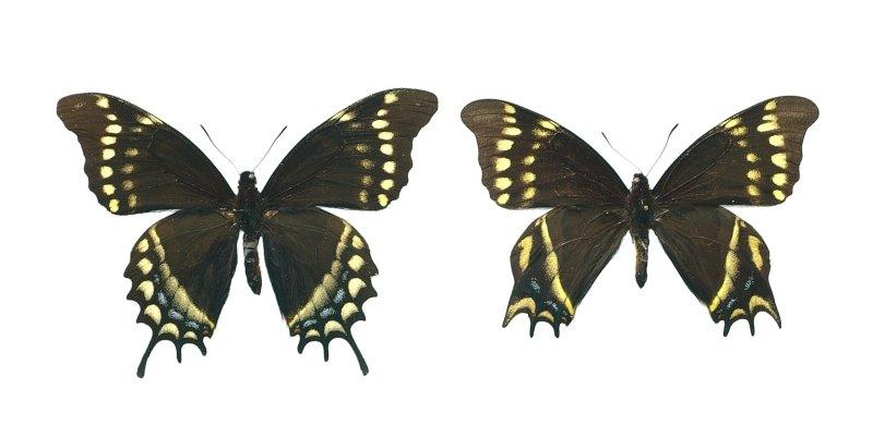 Unique aberration 1 (Papilio warscewiczi mercedes).