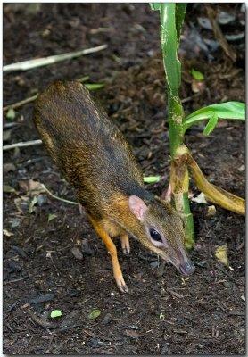 Lesser Mousedeer - adult