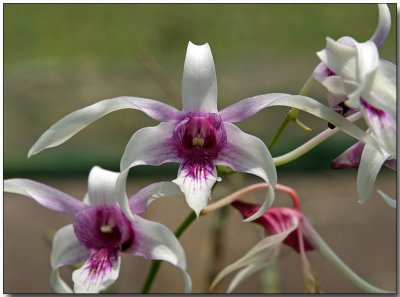 Orchid 45