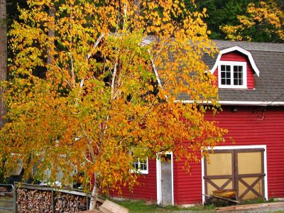 Red barn and white birch tree.