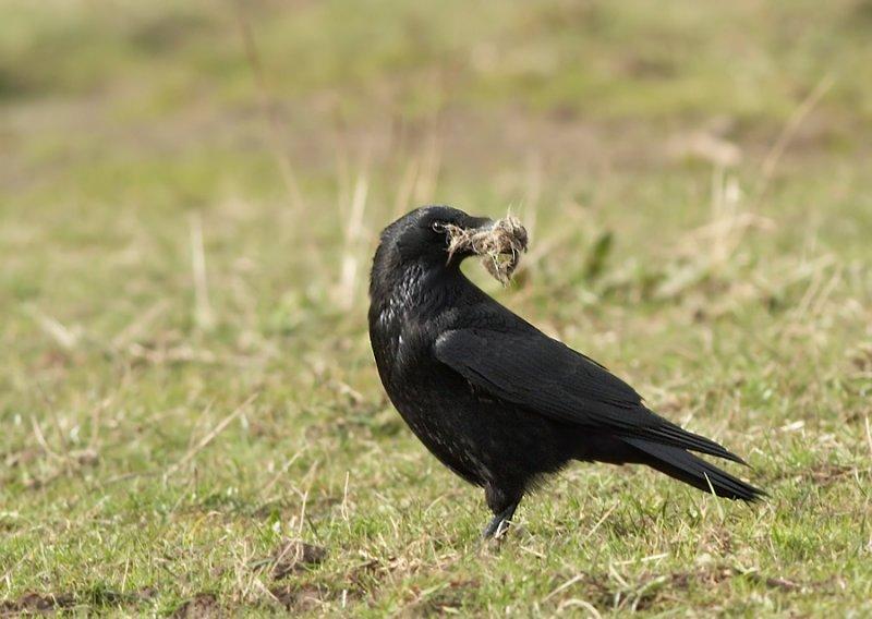 Zwarte -Kraai - Carrion Crow