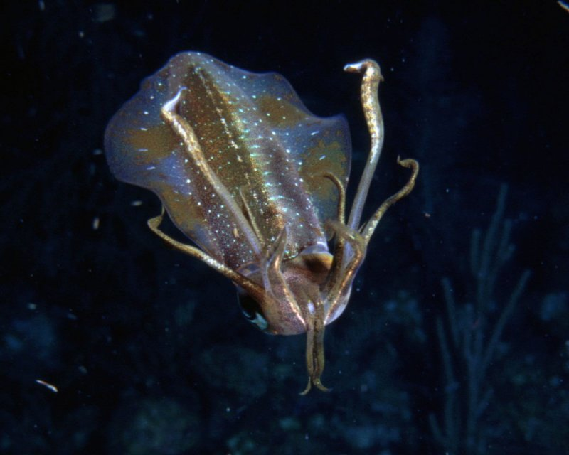 Reef Squid.jpg