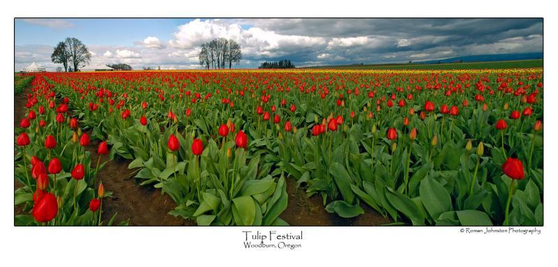 Tulip Pano.jpg (Ask For Custom Sizes)