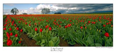 Tulip Pano.jpg (Ask For Custom Sizes)