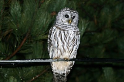 Barred Owl on a Rainy Night - IMG_4484_edited-1.jpg
