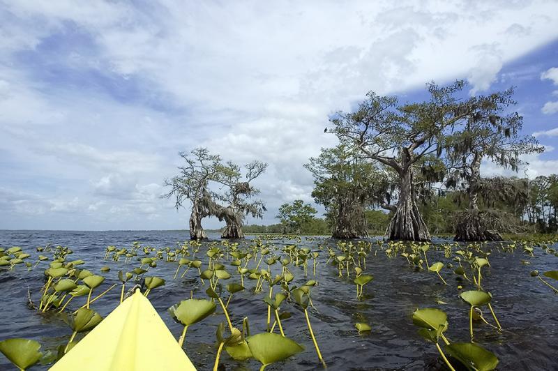 Lillies Kayak and Cypress - Lake Istokpoga