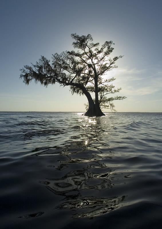 Silhouette Cypress with dark water - Lake Istokpoga