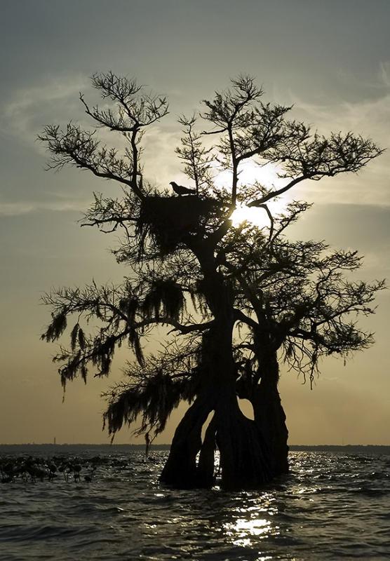 Osprey in cypress nest silhouette - Lake Istokpoga
