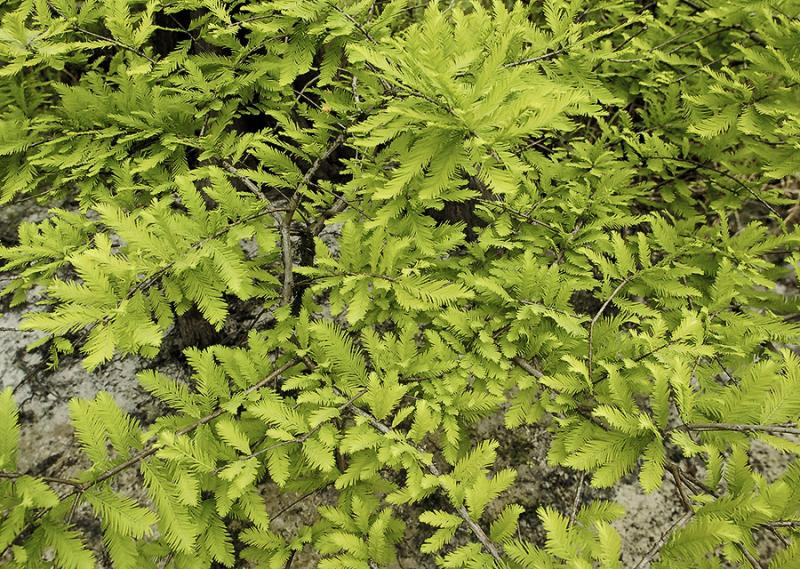 Spring Green Cypress
