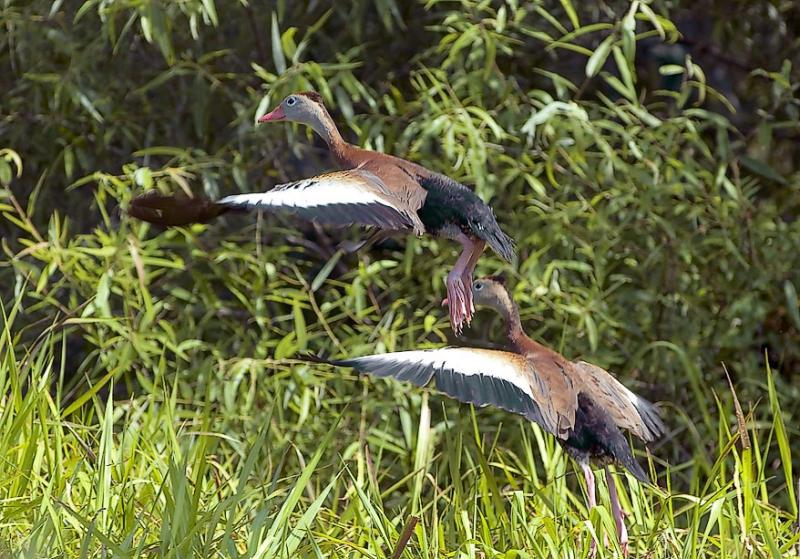 Black Bellied Whistling Ducks Take Flight - Braden River