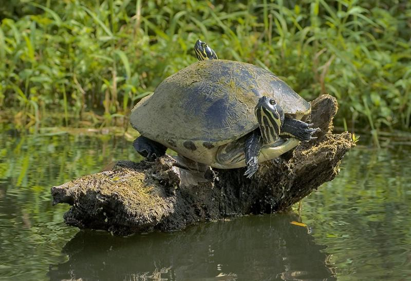 Two Headed Cooter - Braden River