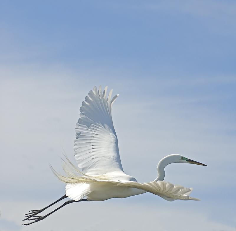 Great Egret flight - Roberts Bay