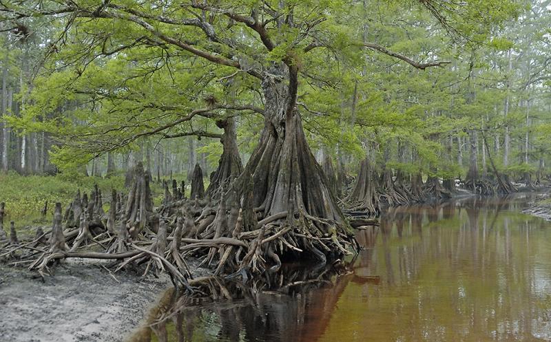 Serene Cypress - Fisheating creek
