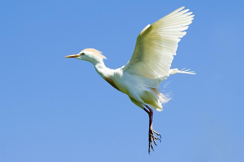 Cattle Egret in Flight w/Breeding Plumage - Medard Park