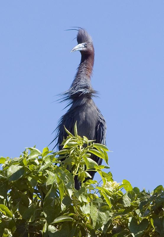 Little Blue Rooster - Medard Park