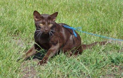 Barettini, he was the darkest of the kittens in the litter