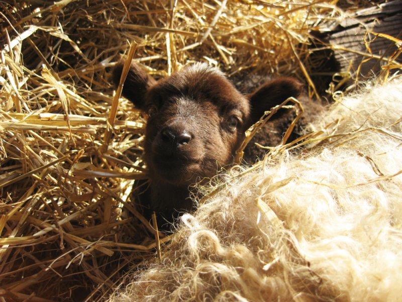 Sheebaas lamb 1 day old