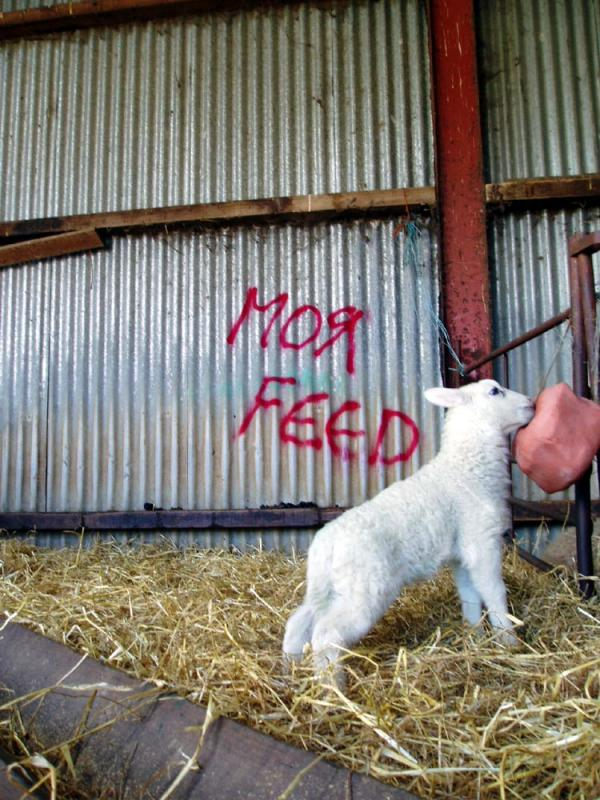Sheep grafiti