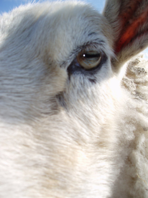 13 year old Fluffy sheep