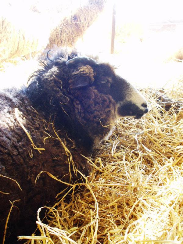 retired sheep