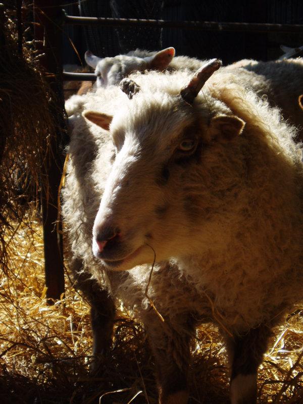 shadowy sheep