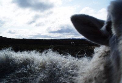 sheep horizon