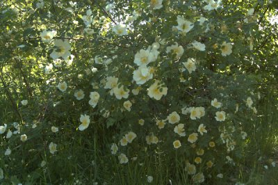 Rosa pimpinellifolia Klitrose